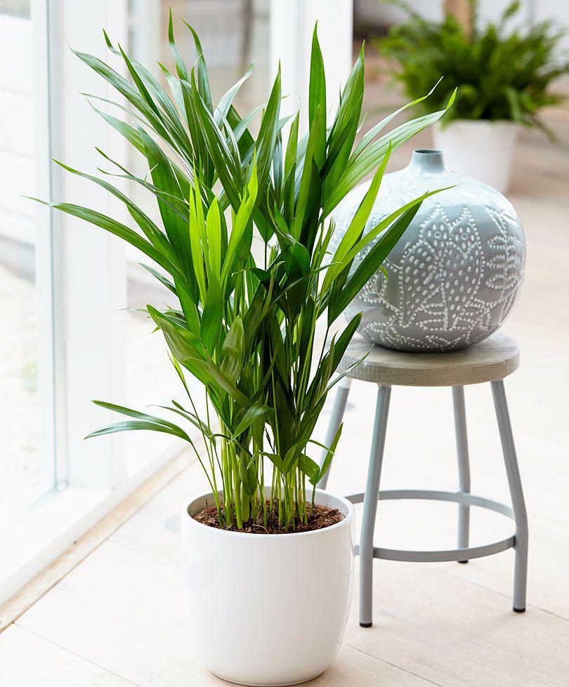 Areca Palm (Dypsis) Plants Bakker Spalding Air