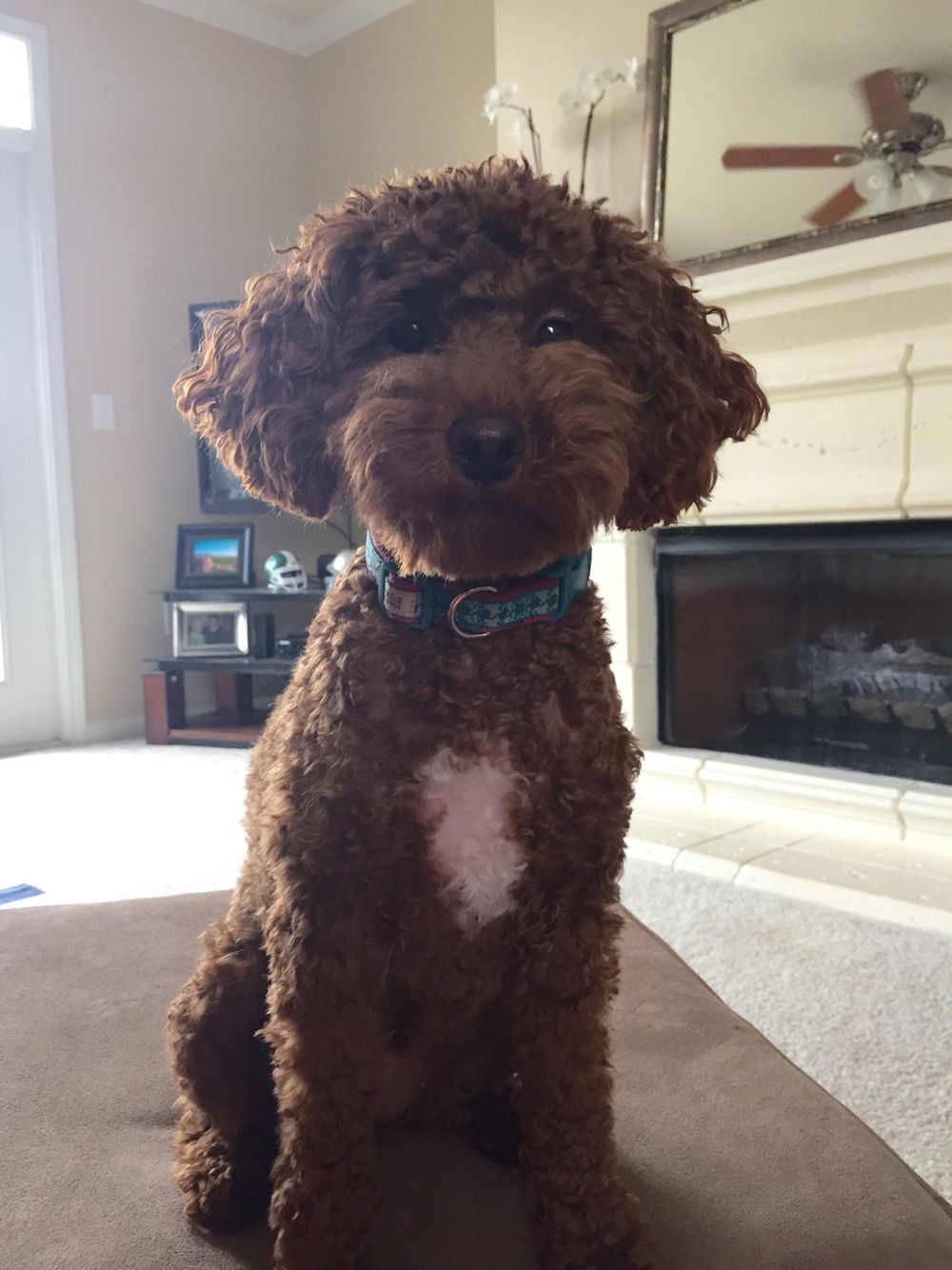 Red Miniature Poodle Portuguese Water Dog Puppy Miniature