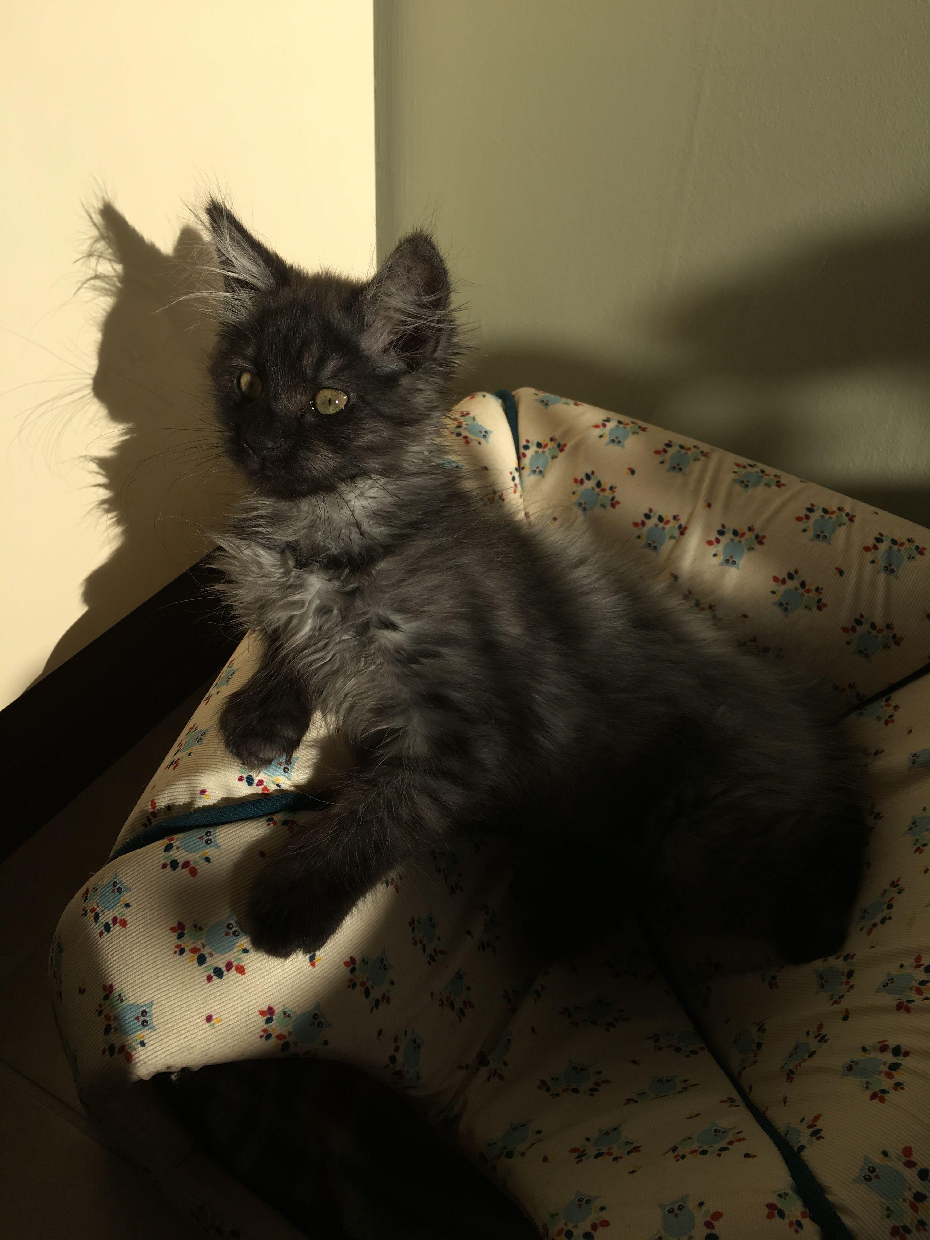 Maine Coon Norwegian Forest Black Smoke Kitten