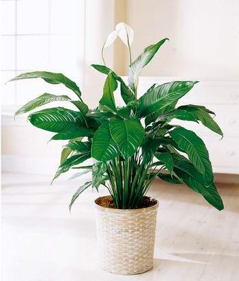 Esta planta de interior es relativamente fácil de cultivar. Con los cuidados correspondientes, conseguirás que te florecezca año tras año.
