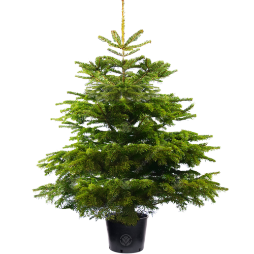 Nordmann Fir Pot Grown Christmas Tree Real Live Fresh Living Potted Plant Potted Trees Potted Christmas Trees Christmas Tree Varieties