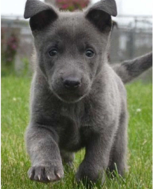 best 25  blue german shepherd puppies ideas on pinterest
