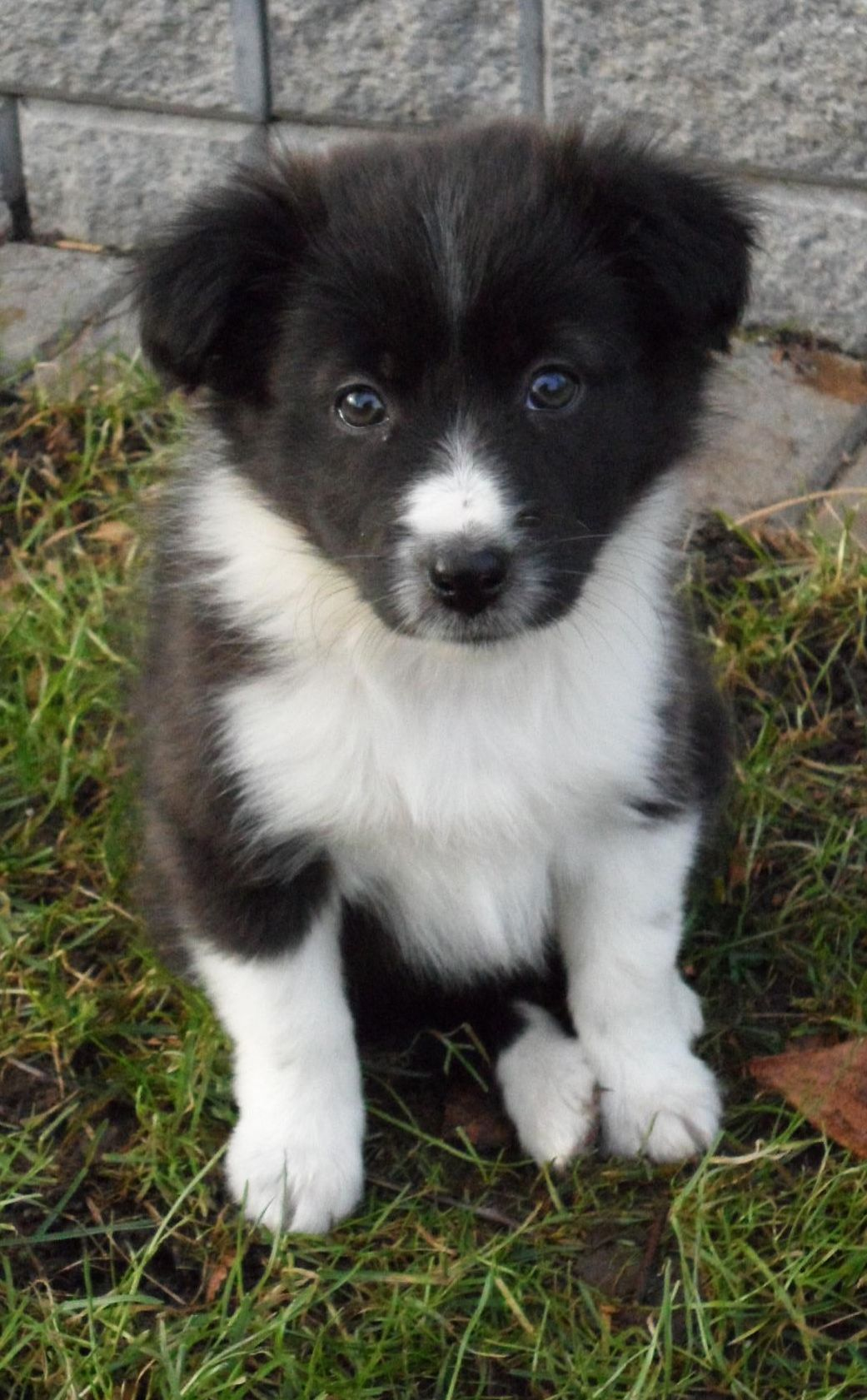 Trixie Border Collie Sheltie Sheltie Dogs Raining Cats And Dogs
