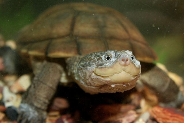 African Side-Neck Turtle at Pets N You in Red Lion, PA