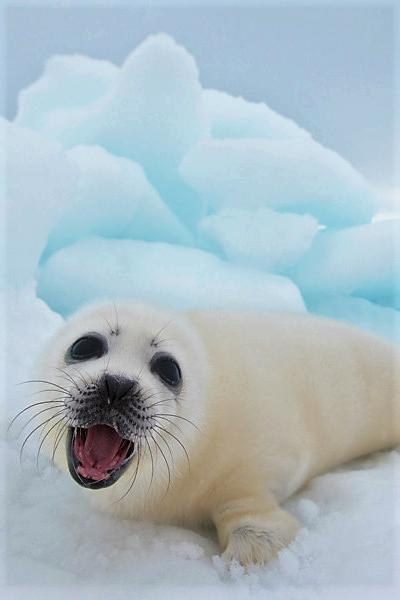 Pin by Lynn Kilinski on Harp Seals | Seal pup, Baby ...