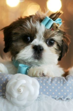 Shaq The Shih Tzu Puppy For Sale Shihtzu Dog Pet Puppy