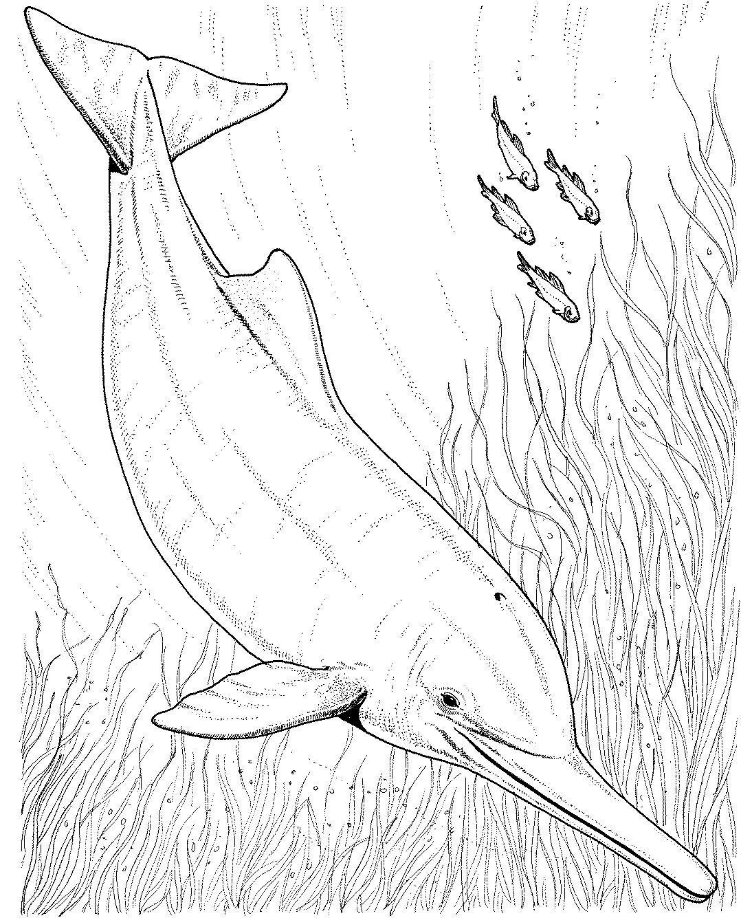 Coloring pages dolphins - Dolphin Coloring Pages For Kids Jpg 1078 1335