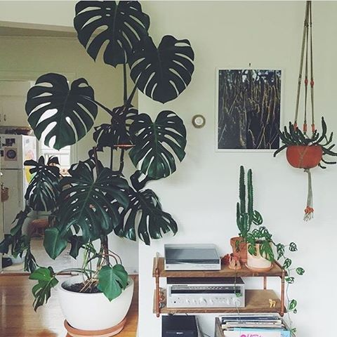 Giant monstera plant! Need one in the house. | I Plants ... on monstera philo cheesecake, monstera pertusum, monstera leaves, monstera direct sun, monstera sunny window, monstera thai constellation, monstera leaf browning,