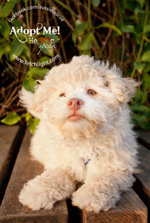 Banshee Maltipoo Puppy Who Was At Aussie Rescue San Diego Http Www Aussierescuesandiego Org Maltipoo Puppy Dogs Dog Adoption