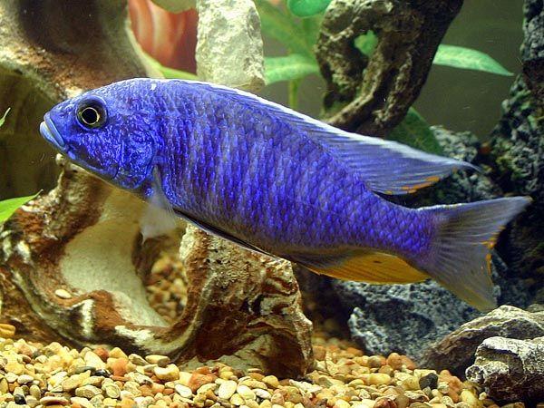 Electric blue cichlid god 39 s imagination pinterest for Blue freshwater fish