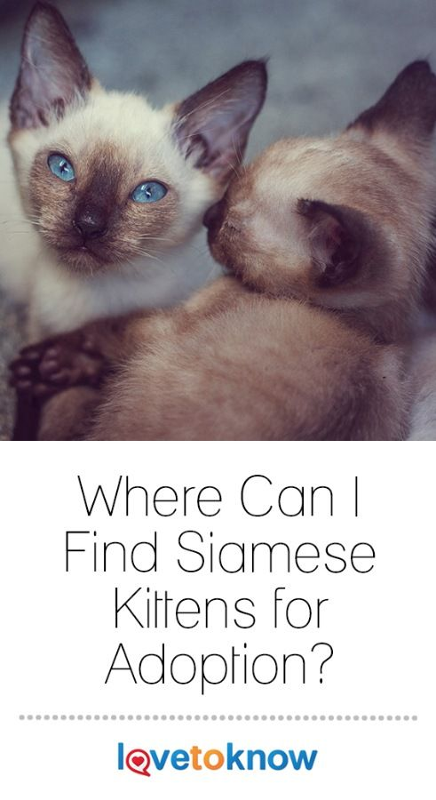 Finding Siamese Kittens For Adoption Lovetoknow Kitten Adoption Siamese Kittens Kittens