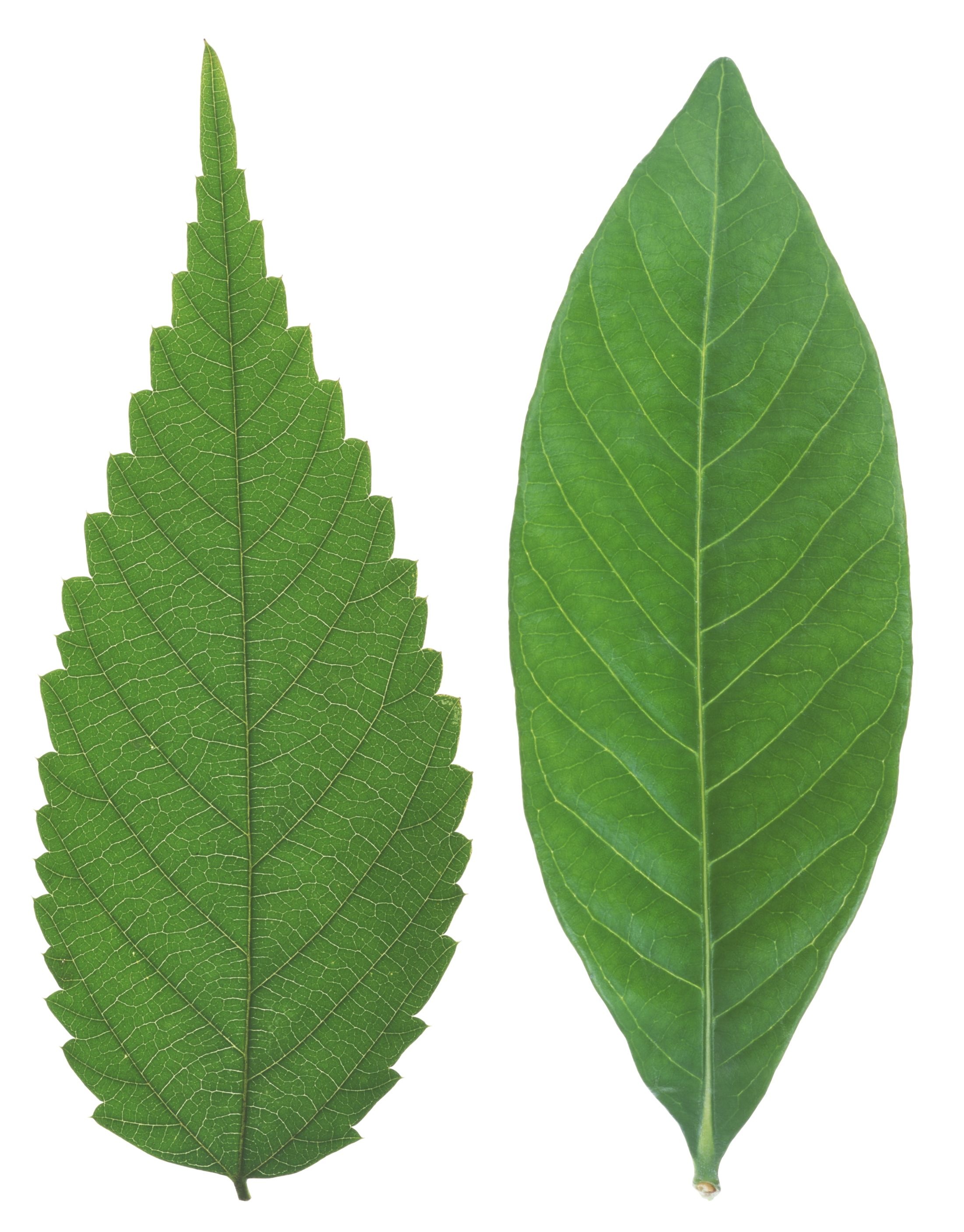 Green Leaves Png Image Green Leaves Leaf Photography Plant Texture