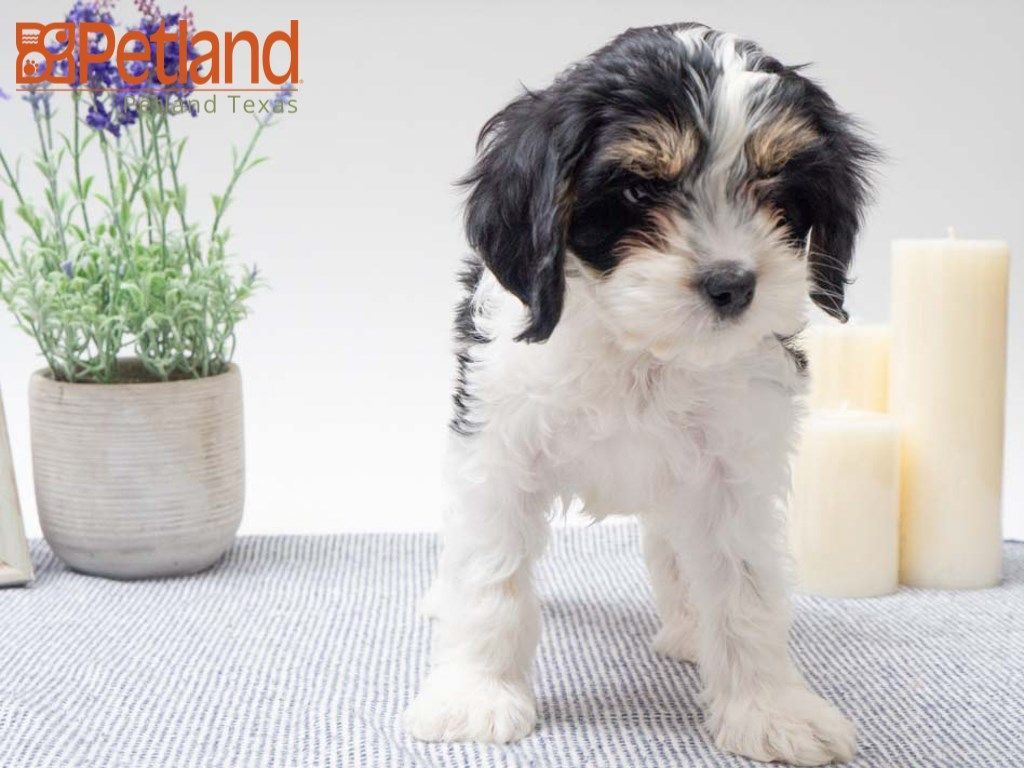 Petland Texas Has Cavapoo Puppies For Sale Check Out All Our