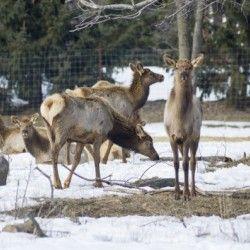14+ Elk Red Tailed Deer or Wapiti 3   Bob Corson  Print