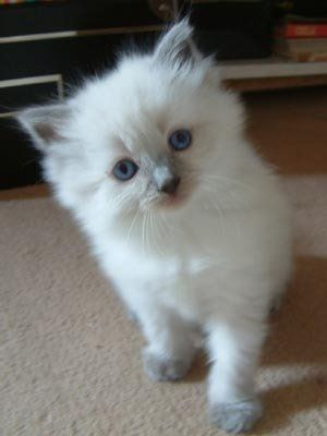 Here Is One Of My Cats Short Haired Breed The Father Is My Ragdoll Cat And The Mother Was My Grey Solid Sho Kittens Cutest Kitten Pictures Kittens Cutest Baby