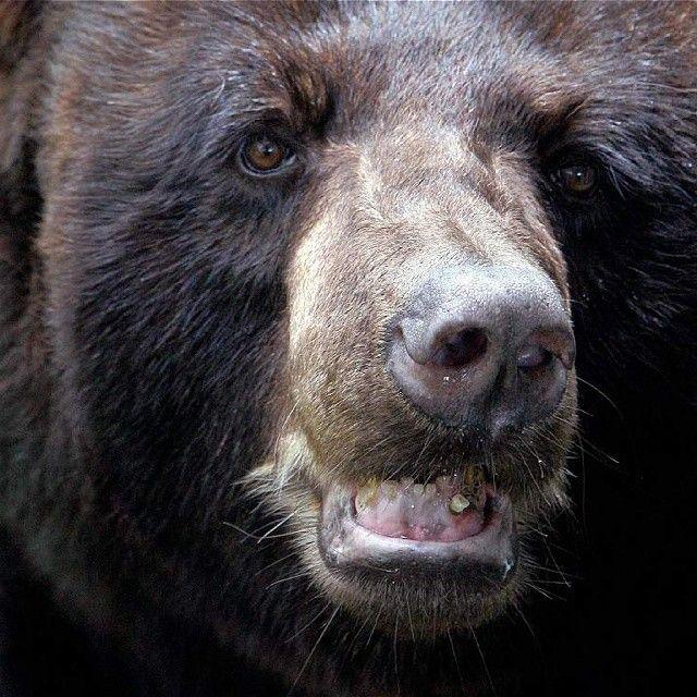 Algunos osos, los bisontes americanos y los búfalos, que antes sorprendían a los visitantes del zoológico Matecaña, en Pereira, se quedarán sin hogar. Luego de que este lugar fuera cerrado el pasado 30 de abril, solamente el 75 por ciento, aproximadamente, de los más de 520 animales serán trasladados al nuevo Bioparque Ukumarí. El destino de losdemás, que además están próximos a jubilarse por la edad y las enfermedades que sufren, es incierto.  Foto: @jaiverpress (Jáiver Nieto) / EL TIEMPO