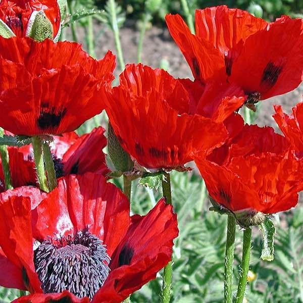 Oriental Poppy Seeds Papaver Orientalis Perennial Flower Seeds Flowers Perennials Planting Poppy Seeds Flower Seeds
