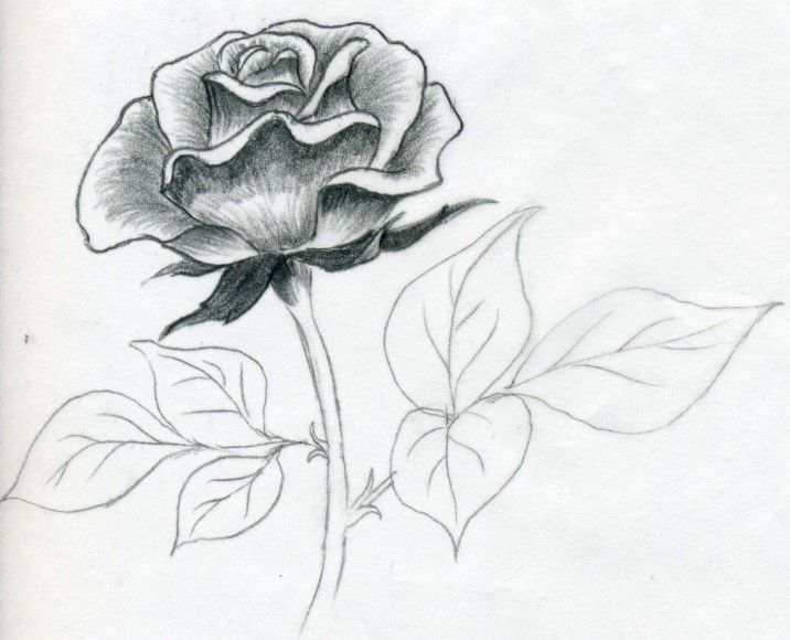Collection Of Rose Flower Drawing In Pencil High Quality Rose