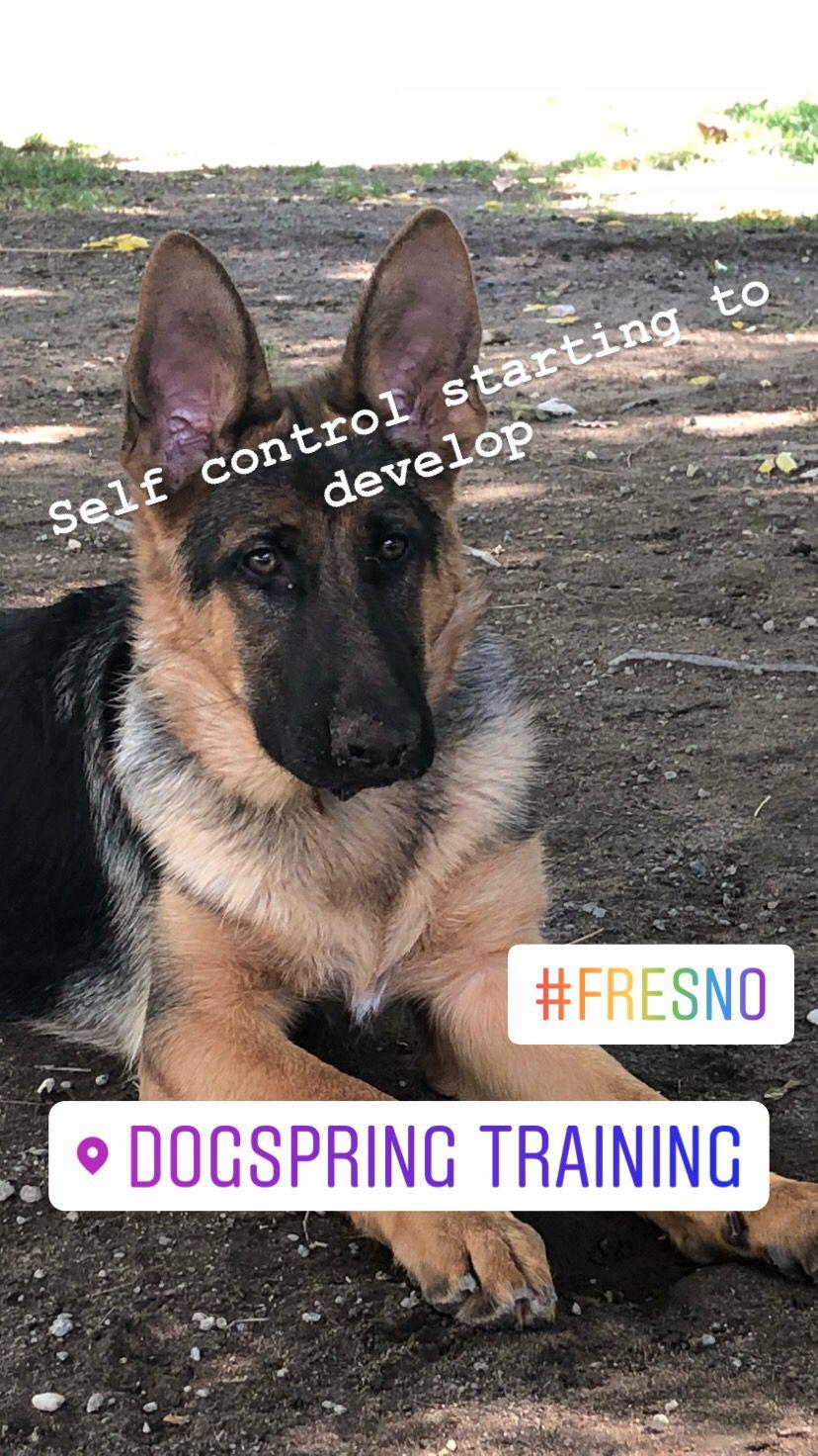 German Shepherd Dog Obedience Training At Dogspring Training