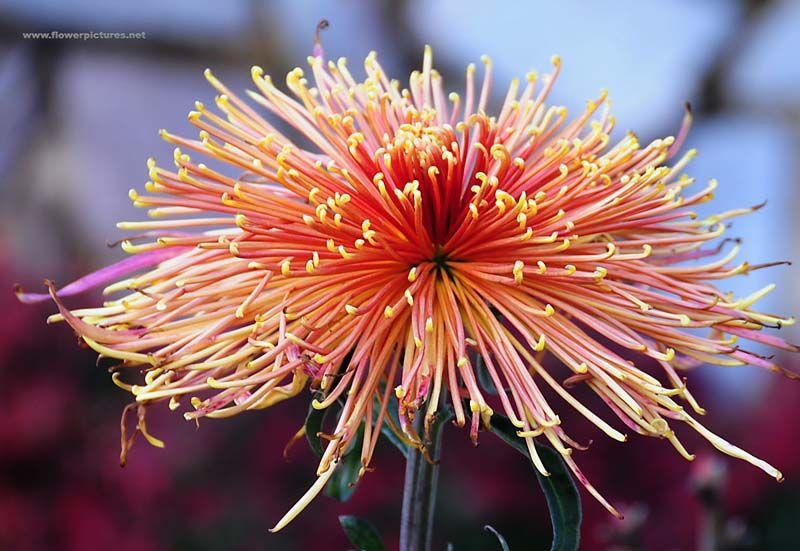chrysanthemum8 (With images) Chrysanthemum, Flowers