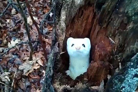 Ermine in a tree http://ift.tt/1rkKYa5