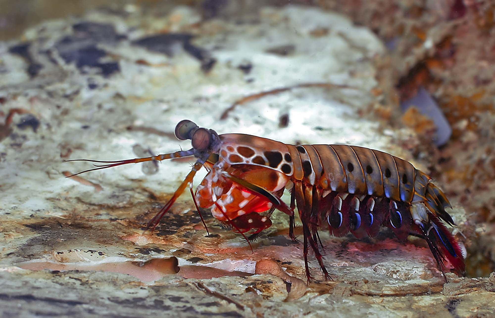 Best Mantis Shrimp photo - HD Wallpapers - Mantis Shrimp | Animal ...