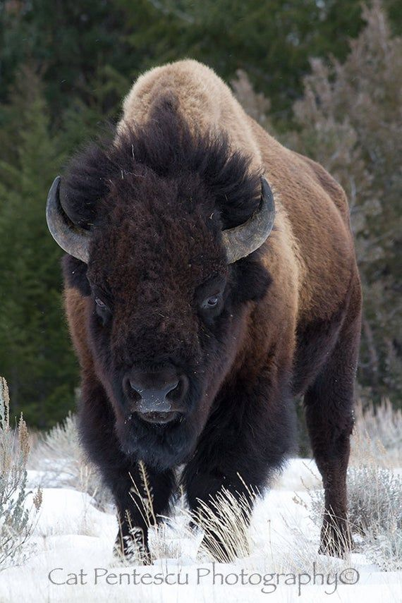 American Buffalo Bison Wild Wildlife Mammal Animal Bull Winter Snow Wilderness Portrait Fine Art Nature Wildlife Photography Cat Pentescu BUFF-A-LO: No question that the American Bison always has the right of way. Taken NW Wyoming, USA by Nature and Wildlife photographer, Cat Pentescu.  Your Fine