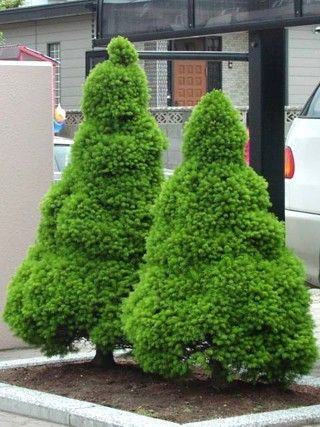 Dwarf alberta spruce picea glauca 39 conica 39 evergreens for Small slow growing evergreen trees