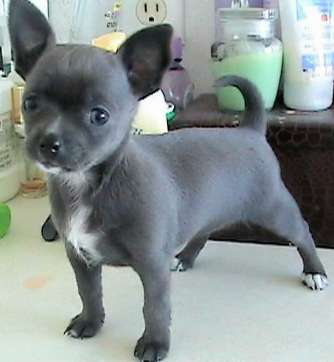 This Lavender Chi Is So Cute It S Edible Chihuahua Puppies