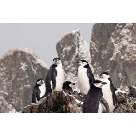 South Georgia Island Cooper Bay Chinstrap penguins Canvas Art - Jaynes Gallery DanitaDelimont (17 x 11)