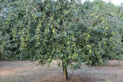 Cider apple tree, just after topping the orchard