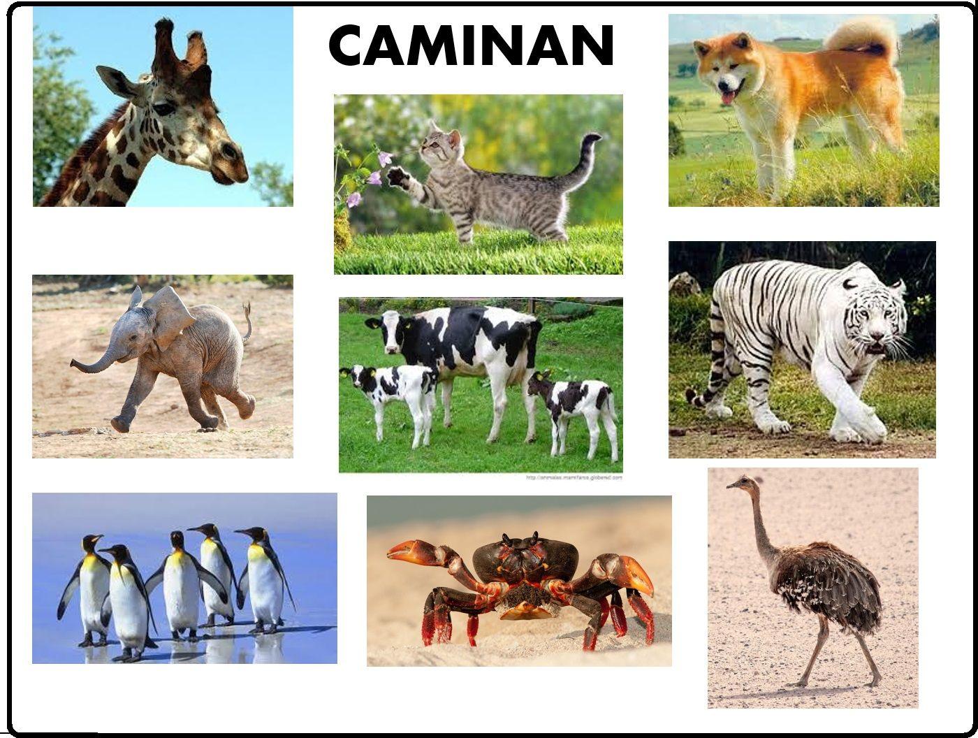 Animales Segun Su Desplazamiento Caminan Ciencia Animal Clasificación De Animales Animales