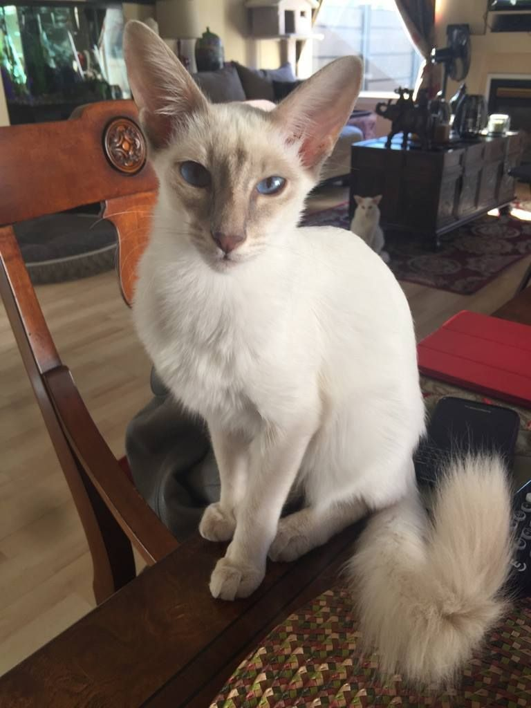 Cat Colours Lilac Tabby Point In 2020 Balinese Cat Oriental Shorthair Cats Pretty Cats