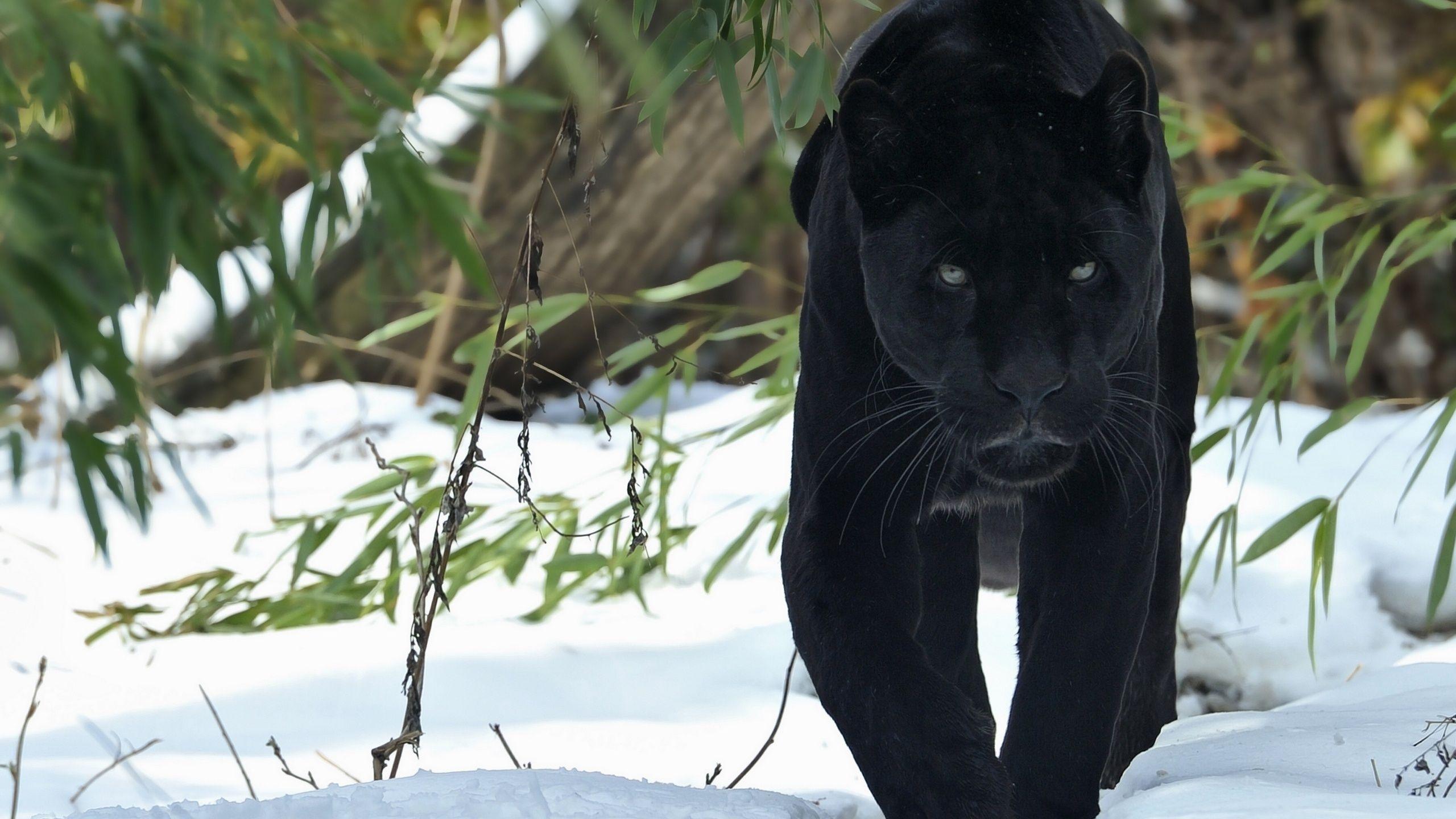 White Panther - Black Cat White Snow Panther Animals Wallpaper