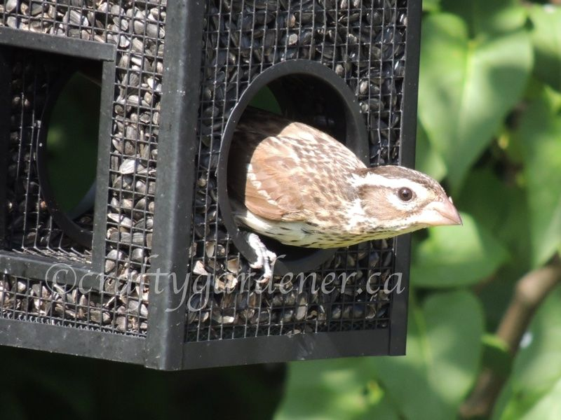at the fly through feeder at craftygardener.ca (With
