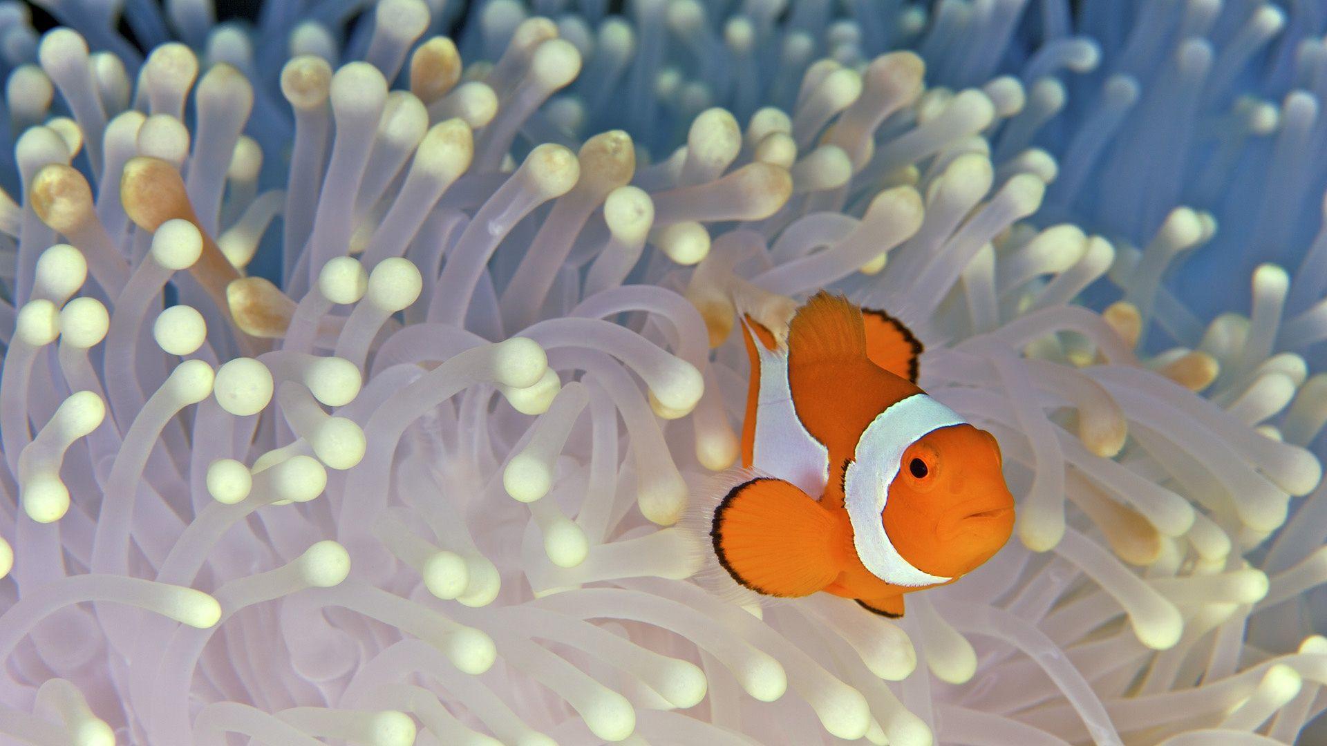 clown fish | Great Clown Fish Wallpaper free HD wallpaper free for ...