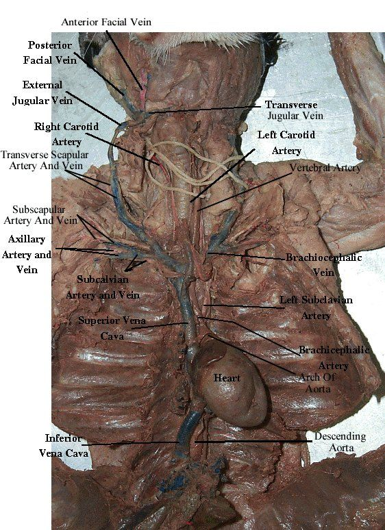 Cat Dissection Arteries Arteries And Veins Of Appendages And