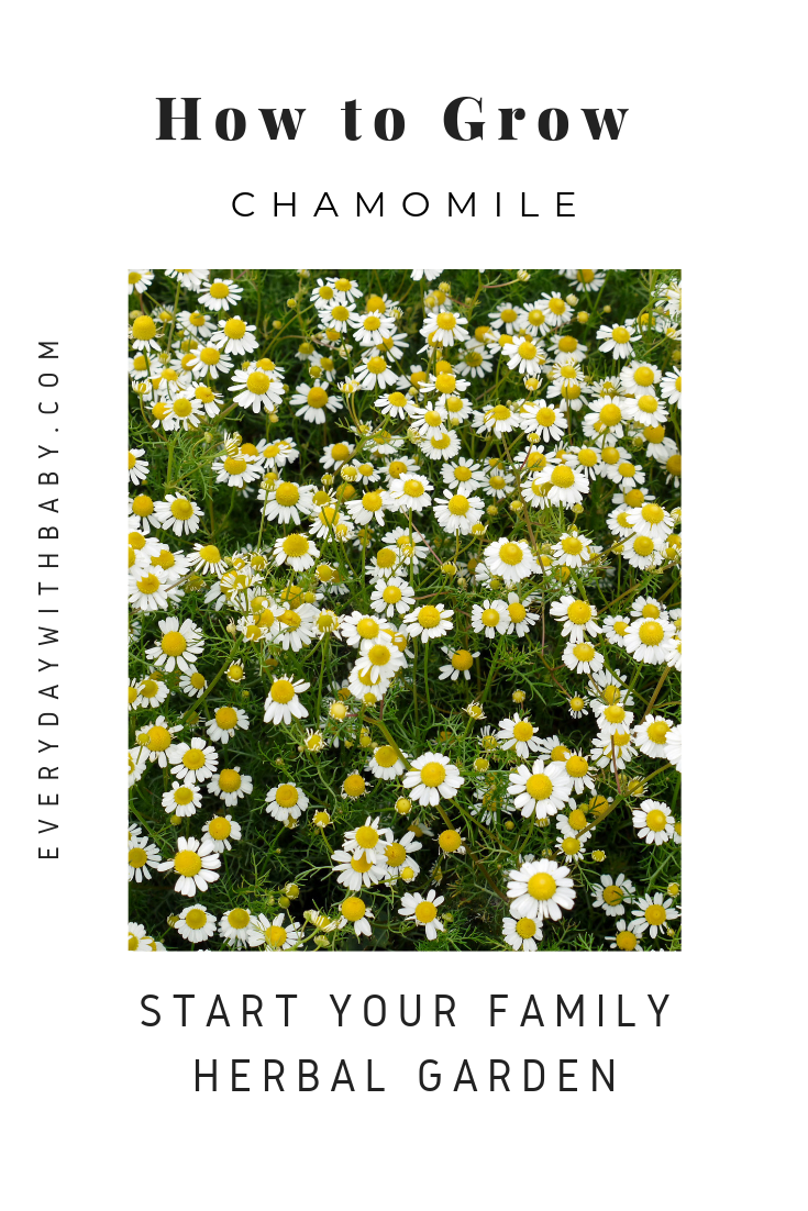 How To Grow Chamomile Everyday With Baby Chamomile Growing Chamomile Plant Chamomile Seeds