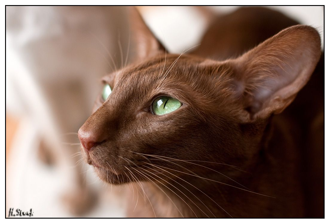 Chocolate Oriental Shorthair Oriental Shorthair Cats Oriental Shorthair Havana Brown Cat