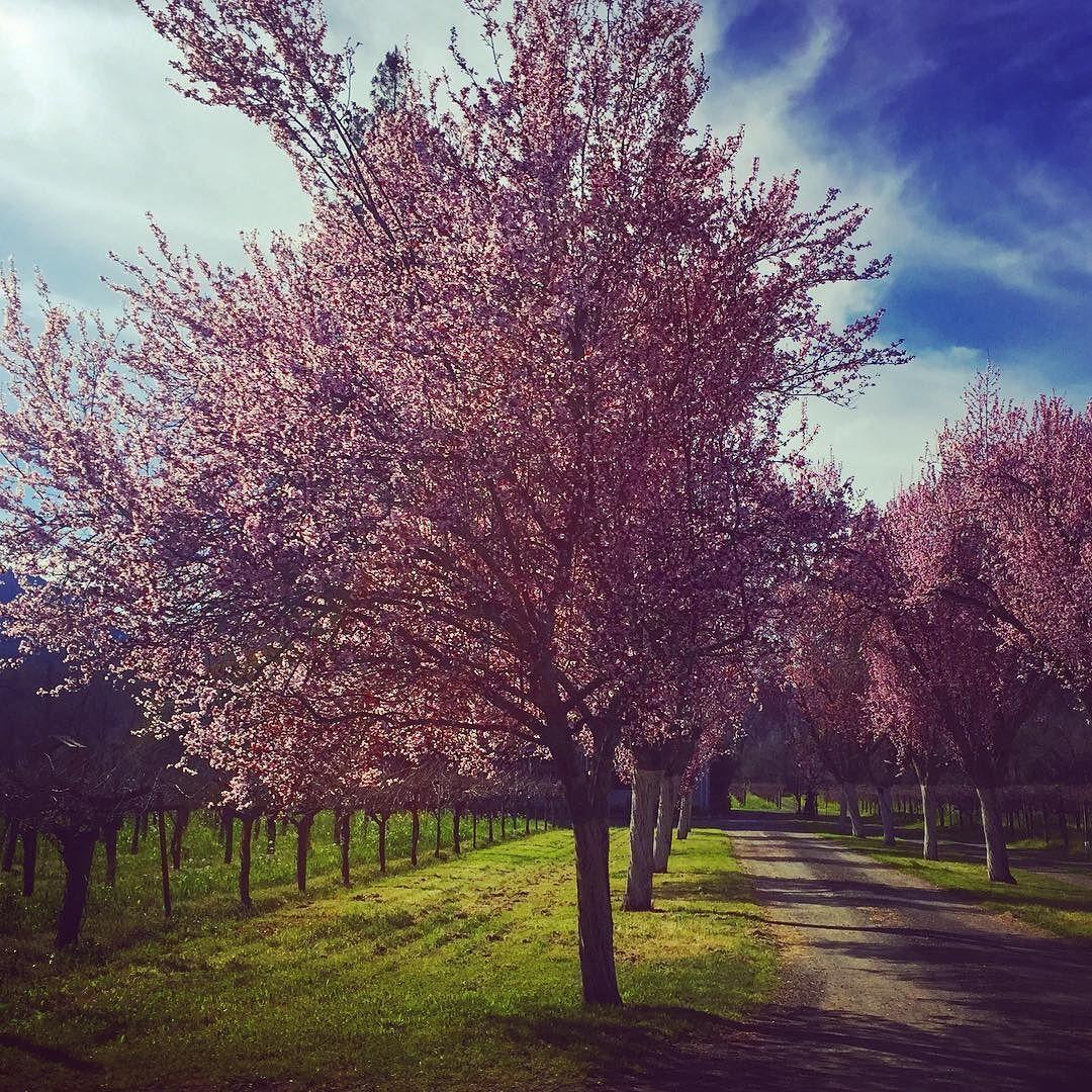 #springtime in #winecountry.  #spring #napa #napavalley #wine #vine #vines #vineyard #flowers #bloom #blooms #travel #traveler #traveling #instatravel #instatraveling #instapassport #igtravel #igtraveler #travelgram #igtravel #travelling #springtime #blooms by cohicatravel