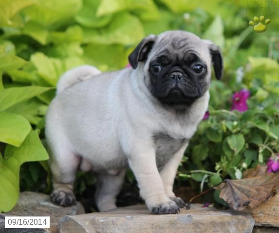 Lucy Pug Puppy For Sale In Mifflinburg Pa Pug Puppies Pug
