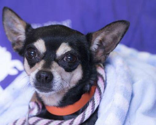 Colorado Springs Co Chihuahua Meet Lucia A Dog For Adoption