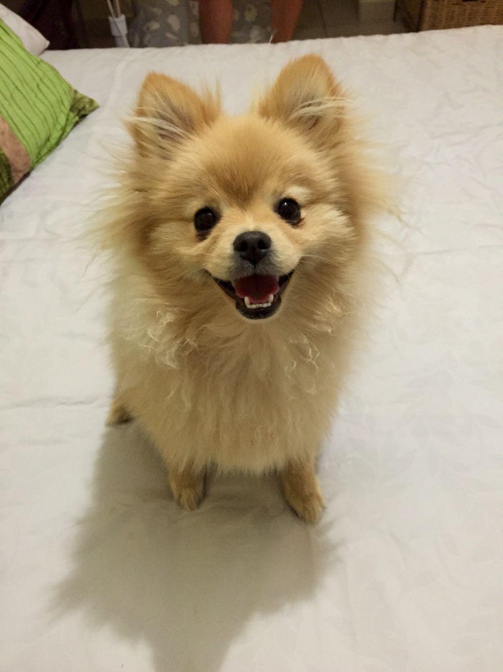 Teddy the Toy Pom Pomeranian puppy cute