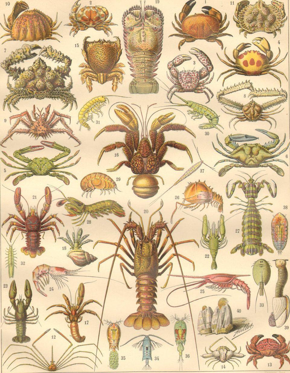 1890\'s Antique Crustaceans Print French Ocean Larousse Crustaces Sea ...