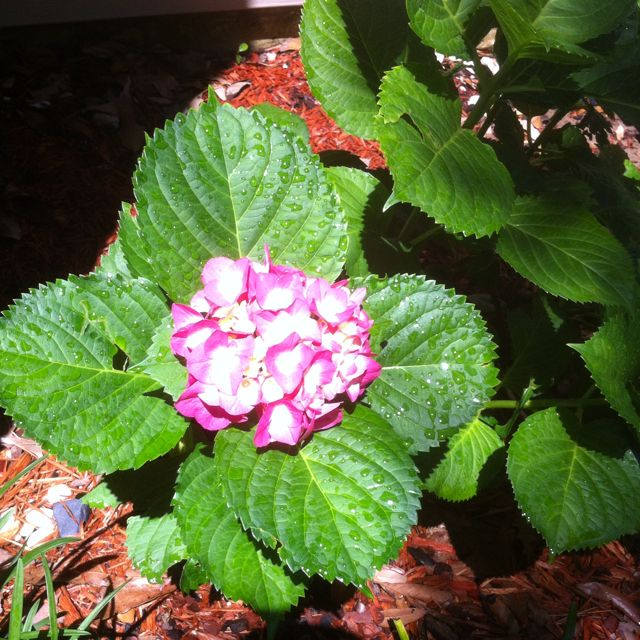 My hydrangea!! They remind me of my Great Grandma Dayton!!