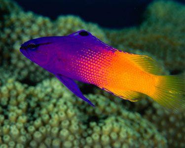 Royal Gramma Basslet Peaceful Coral Safe Reef Safe
