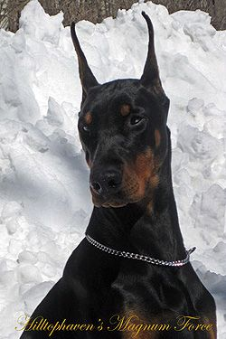 Doberman Pinscher Breeders Canada S Guide To Dogs Doberman