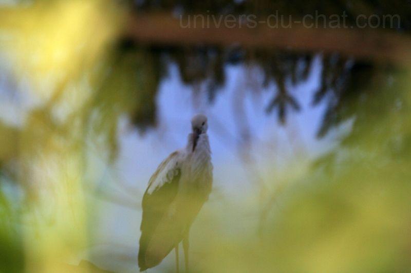 Cigognes en France dans l'Oise