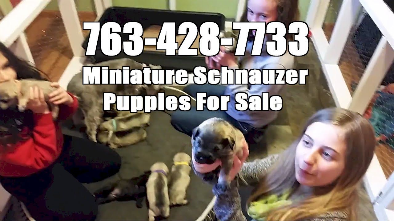 Miniature Schnauzer Puppies For Sale Rogers Mn Call Today 763 428 7733 Miniature Schnauzer Puppies Schnauzer Puppy Puppies For Sale
