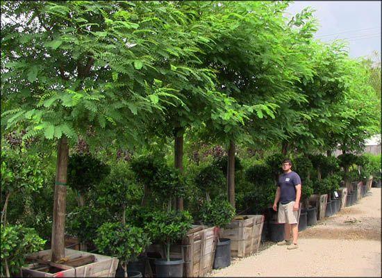 Tipu Tree For Fast Growing Desert Trees Moon Valley Nursery